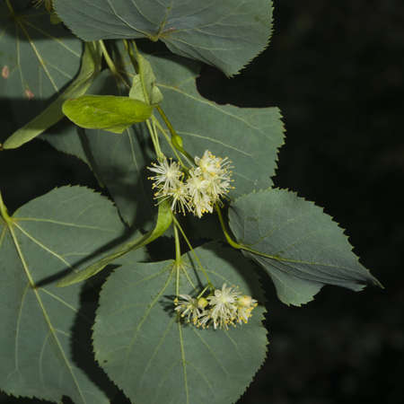 Small-leaved lime or littleleaf linden, Tilia cordata, flowers macro, selective focus, shallow DOF