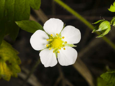 'wild strawberry: Wild strawberry flower with white petals close-up, selective focus, shallow DOF