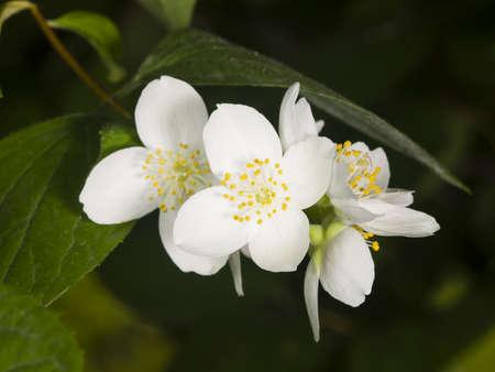 White flowers on mock-orange shrub with bokeh background, macro, selective focus, shallow DOF Stock Photo