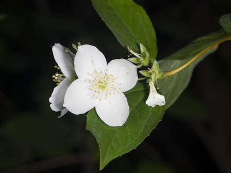 philadelphus: White flowers on mock-orange shrub with bokeh background, macro, selective focus, shallow DOF Stock Photo