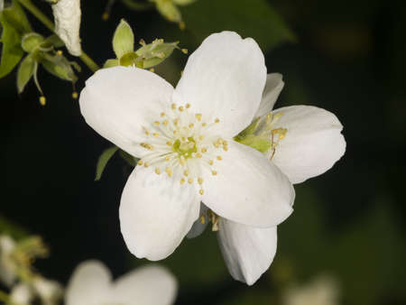 White flower on mock-orange shrub with bokeh background, macro, selective focus, shallow DOF