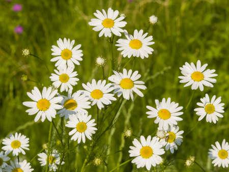 falso: Scentless False Mayweed, Tripleurospermum Inodorum, blossom, close-up Foto de archivo