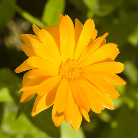 pot marigold: Common or Pot Marigold, Calendula officinalis, flower macro with soft edges Stock Photo