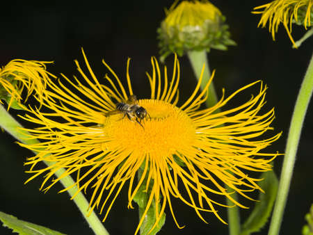 stamen wasp: Honey bee collects nectar on Telekia Speciosa yellow flower macro, selective focus, shallow DOF