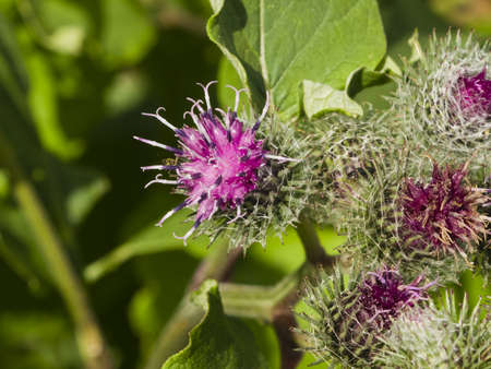 wooly: Flowers and buds on Wooly or Downy Burdock, Arctium tomentosum, macro, selective focus, shallow DOF