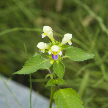 Large-flowered Hemp-nettle or Edmonton hempnettle, Galeopsis Speciosa, plant with flowers on bokeh background, selective focus, shallow DOF Stock Photo