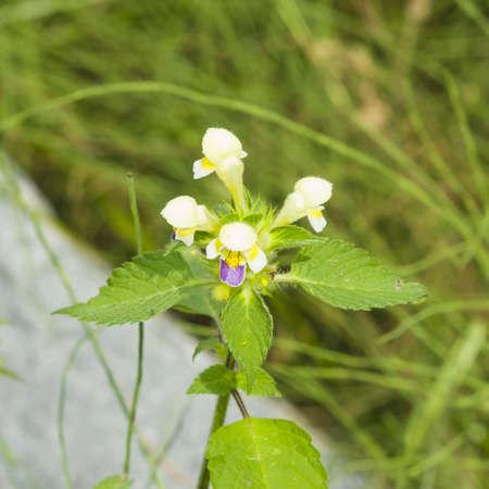 Large-flowered Hemp-nettle or Edmonton hempnettle, Galeopsis Speciosa, plant with flowers on bokeh background, selective focus, shallow DOF Stock Photo