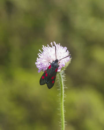 zygaena: Six-spot burnet, Zygaena filipendulae, moth on Flower of Field Scabious, Knautia Arvensis, with bokeh background macro, selective focus, shallow DOF