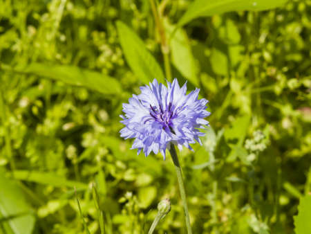 Blooming Blue Garden Cornflower, Centaurea cyanus, in flowerbed with bokeh background, macro, selective focus, shallow DOF Stock Photo