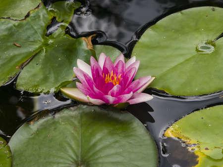 nenuphar: European Waterlily, Water Rose or Nenuphar, Nymphaea, pink flower macro, selective focus Stock Photo
