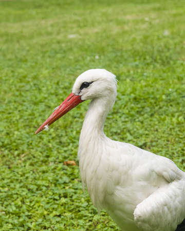 White Stork, Ciconia Ciconia, close-up portrait with defocused background, selective focus, shallow DOF Stock Photo