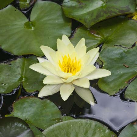 nenuphar: European White Waterlily, Water Rose or Nenuphar, Nymphaea alba, flower macro, selective focus Stock Photo