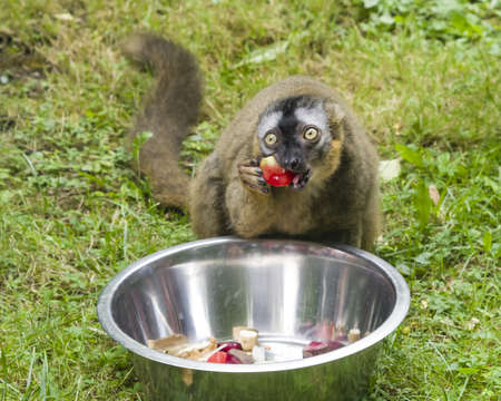 fulvus: Funny photo of red-fronted lemur, Eulemur fulvus rufus, eating sweet bell pepper from metal bowl. Close-up portrait, selective focus, shallow DOF.