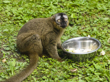 fulvus: Funny photo of red-fronted lemur, Eulemur fulvus rufus, sitting near metal bowl with fruit and vegetables. Close-up portrait, selective focus, shallow DOF.