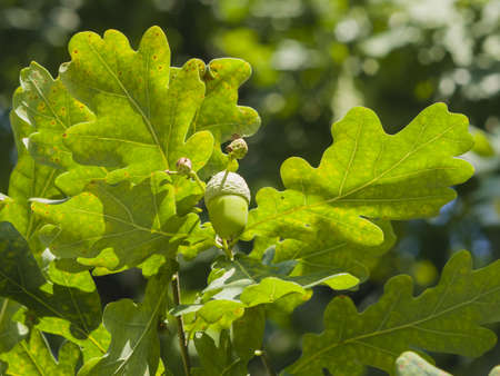Riping green acorn and leaves on oak, quercus, close-up, selective focus, shallow DOF