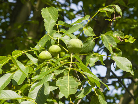 unripened: Green unripe walnuts on tree with leaves close-up, selective focus, shallow DOF