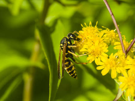 entomological: Wasp on blooming goldenrod, solidago, close-up with bokeh background, selective focus, shallow DOF Stock Photo