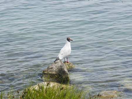 chroicocephalus: Young Black-headed Gull, Chroicocephalus ridibundus, on stone at shore of lake, selective focus, shallow DOF