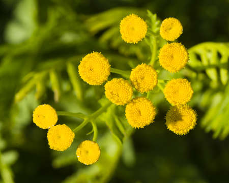 vulgare: Blooming common tansy, tanacetum vulgare, golden buttons, macro, selective focus