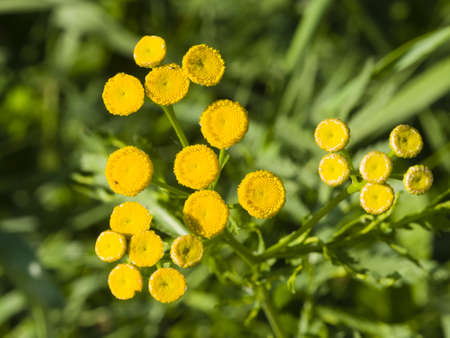 Blooming common tansy, tanacetum vulgare, golden buttons, macro, selective focus