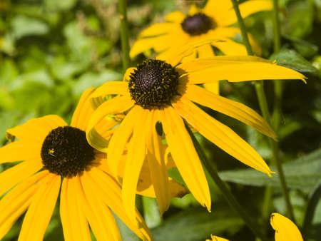 bright eyed: Black Eyed Susan, Rudbeckia hirta, yellow flowers close-up, selective focus, shallow DOF