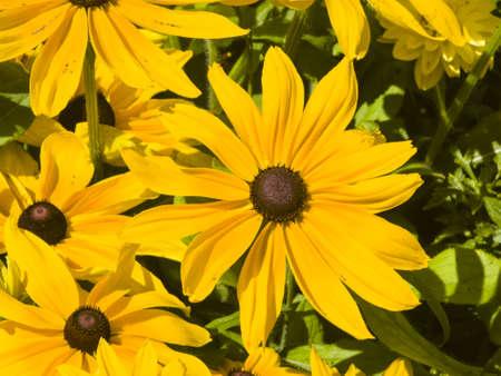 Black Eyed Susan, Rudbeckia hirta, yellow flowers close-up, selective focus, shallow DOF