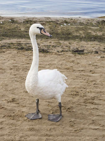 Young Mute swan, Cygnus olor, with pale red beak walking on sand beach at sea shoreline, close-up portrait, selective focus, shallow DOF Stock Photo