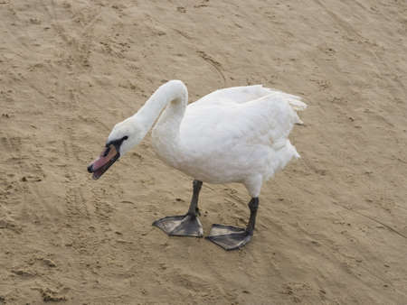 red beak: Young Mute swan, Cygnus olor, with pale red beak standing on sand beach in attack position, close-up portrait, selective focus, shallow DOF