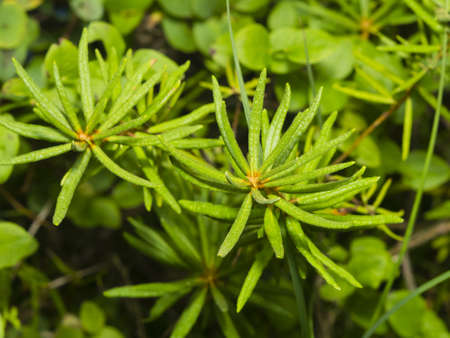 palustre: Marsh Labrador tea, Rhododendron tomentosum, Ledum palustre, leaves on stem, close-up, selective focus, shallow DOF