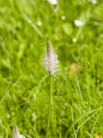 plantain herb: Hoary Plantain, Plantago media, blossom in weed, macro, selective focus, shallow DOF Stock Photo