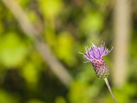 Blooming Thistle, Cirsium arvense, flower with bokeh background macro, selective focus, shallow DOF