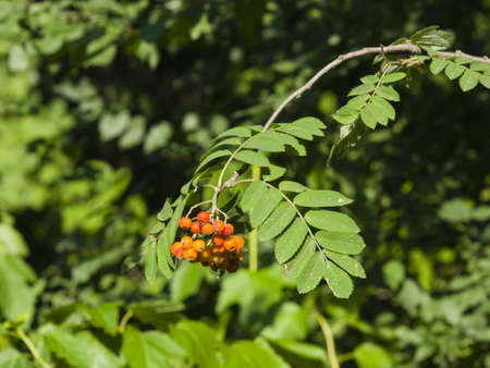 Mountain ash, Rowan, Sorbus tree with ripe berries, close-up, selective focus, shallow DOF Stock Photo