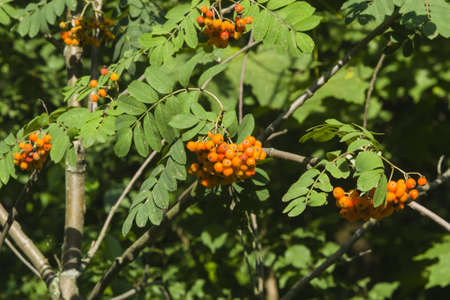 Mountain ash, Rowan, Sorbus tree with ripe berries, close-up, selective focus, shallow DOF Stock Photo