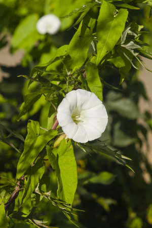 invasive: Field Bindweed, Convolvulus Arvensis, white flower close-up, selective focus, shallow DOF