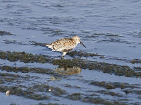 Dunlin, Calidris alpina, searching for food at sea shoreline, close-up portrait, selective focus, shallow DOF