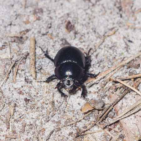 geotrupidae: Bright Earth-boring dung beetle, Anoprotrupes stercorosus, portrait on ground at pine forest, macro, selective focus, shallow DOF