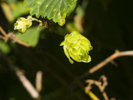common hop: Green flower cones on Common Hop, Humulus Lupulus, close-up, selective focus, shallow DOF