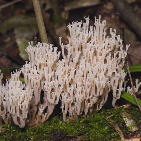 formosa: Fungus ramaria, poisonous mushroom, macro, selective focus, shallow DOF
