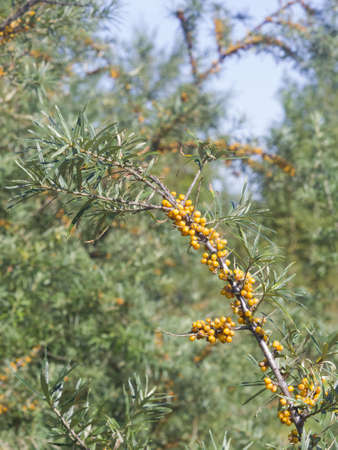 Sea buckthorn, Hippophae, berries riping on branch, close-up, selective focus, shallow DOF Stock Photo