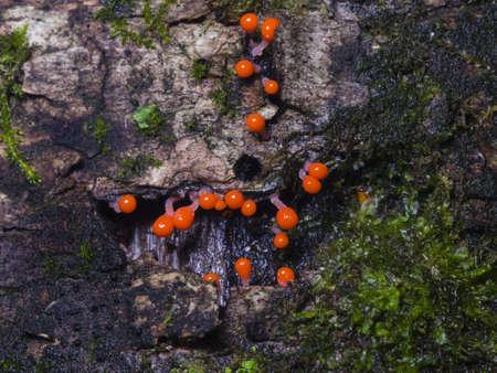 protista: Myxomycota, slime mold fungus, Trichia decipiens macro, selective focus, shallow DOF Stock Photo