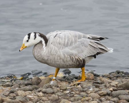 the hague: Bar-headed Goose, Anser indicus, close-up portrait on stone shore of pond, selective focus, shallow DOF Stock Photo