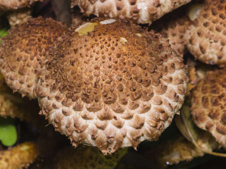 Mushroom shaggy scalycap, Pholiota squarrosa, macro, selective focus, shallow DOF Stock Photo