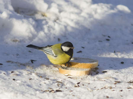 wingspan: Great tit, Parus Major, close-up portrait in snow on bread with bokeh background, selective focus, shallow DOF