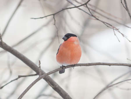 Red-colored Male of Eurasian Bullfinch, Pyrrhula pyrrhula, close-up portrait on branch with bokeh background, selective focus, shallow DOF