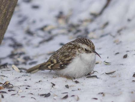 Small bird Eurasian or Common Treecreeper, Certhia familiaris, close-up portrait on snow under tree, selective focus, shallow DOF