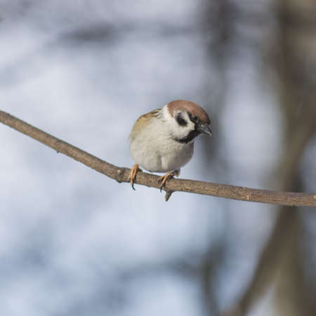 Eurasian Tree Sparrow, Passer montanus, close-up portrait on branch with bokeh background, selective focus, shallow DOF
