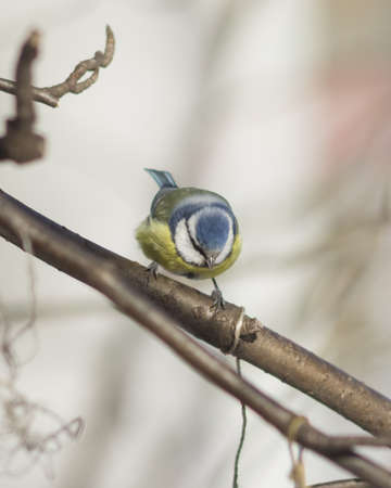 Eurasian blue tit, Cyanistes caeruleus, sitting in branches, closeup portrait, selective focus, shallow DOF