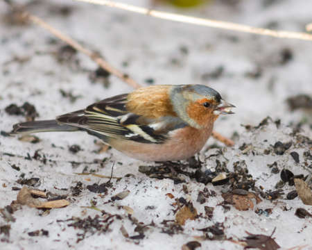 Male Common Chaffinch, Fringilla coelebs, close-up portrait on ground, selective focus, shallow DOF.