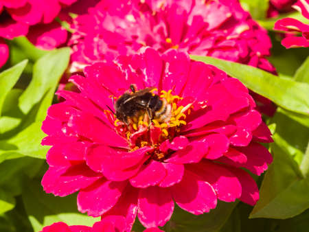 Bumblebee on red flower of Youth-and-age, Zinnia elegans, macro, selective focus, shallow DOF. Stock Photo