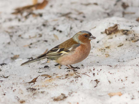 Male Common Chaffinch, Fringilla coelebs, close-up portrait on icy ground, selective focus, shallow DOF.
